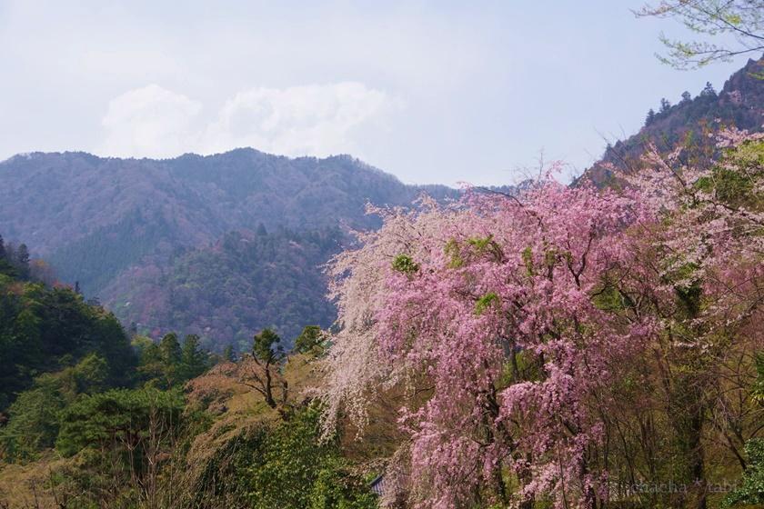 中腹から見る桜